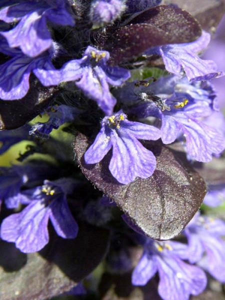 Blüte des rotblättrigen Gartengünsels