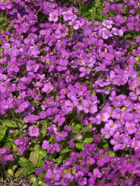 Blütenmeer der Felsenkresse 'Compinkie'