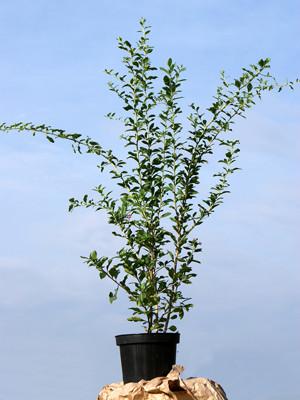 Goji-Beere 'Synthia' (Lycium barbarum Synthia)