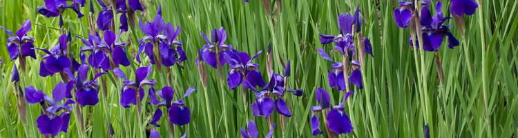 iris-staude-des-jahres