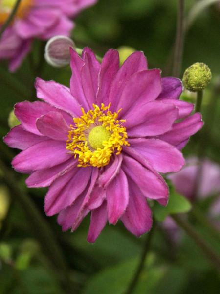 Blüte der Herbstanemone 'Pamina'