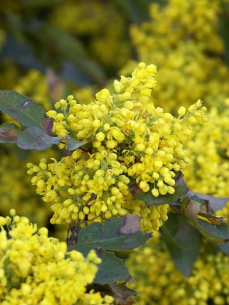 Zwergmahonie Apollo Blüte