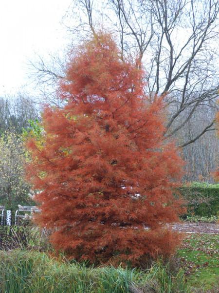 rot-braune Herbstfärbung des Urweltmammutbaums