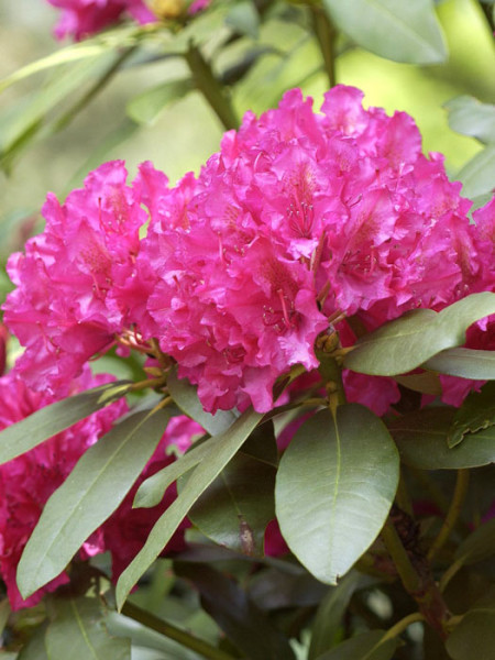 Rhododendron 'Mrs. P. den Ouden'