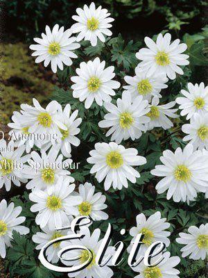 Anemone Blanda 'White Splendour' (Art.Nr. 596408)