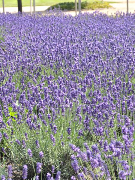Lavendel Hidcote Blue Bodendecker