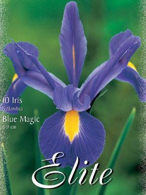 Holländische Iris 'Blue Magic', Iris hollandica (Art.Nr. 596900)