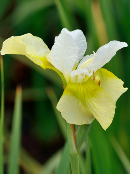 Iris sibirica 'Butter and Sugar', Wiesen-Schwertlilie, Wiesen-Iris