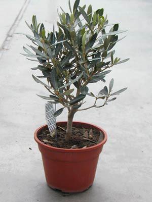 Olea europaea, Olivenstrauch**