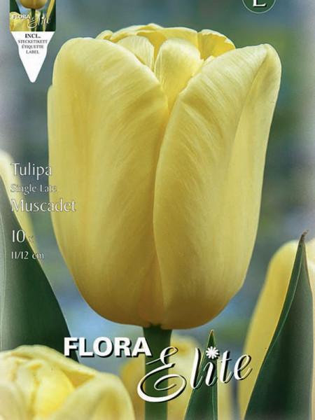 Tulpe Muscadet