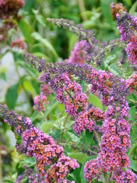 Blütenstände mit mehren Farben