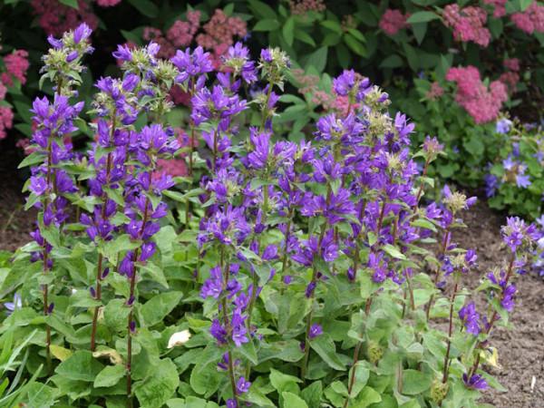 Campanula glomerata 'Dahurica', Hohe Knäuelglockenblume, Gartenglockenblume
