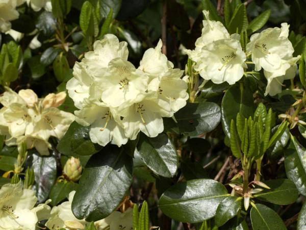 Rhododendron 'Marianne'