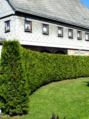 Hecke Thuja occidentalis