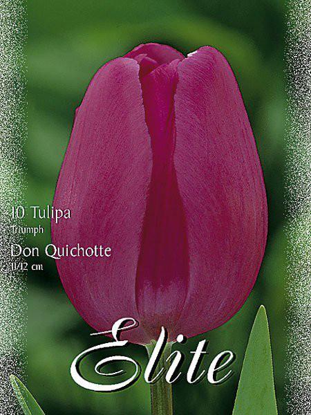 Triumph-Tulpe 'Don Quichotte' (Art.Nr. 595204)