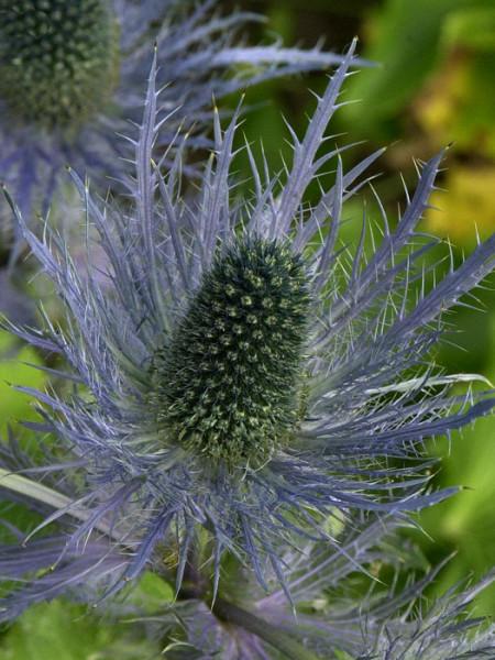 Eryngium alpinum 'Blue Star', Edeldistel, Mannstreu