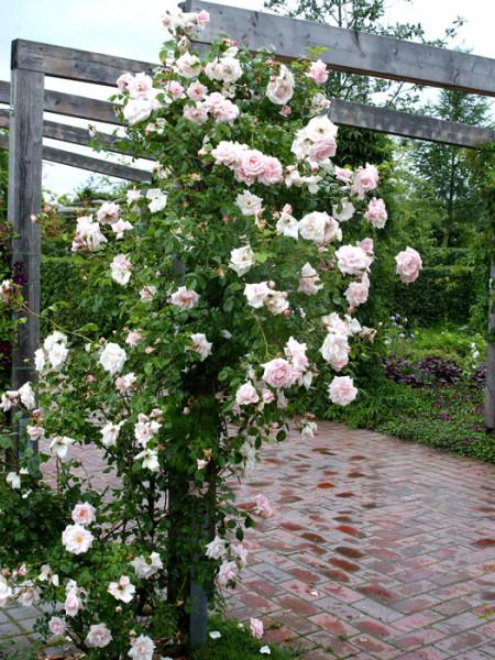 Strauch der Rose New Dawn