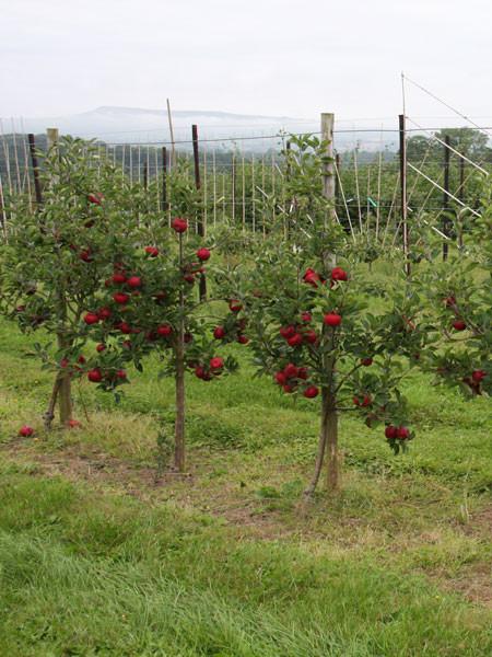 Apfelbaum Rosette