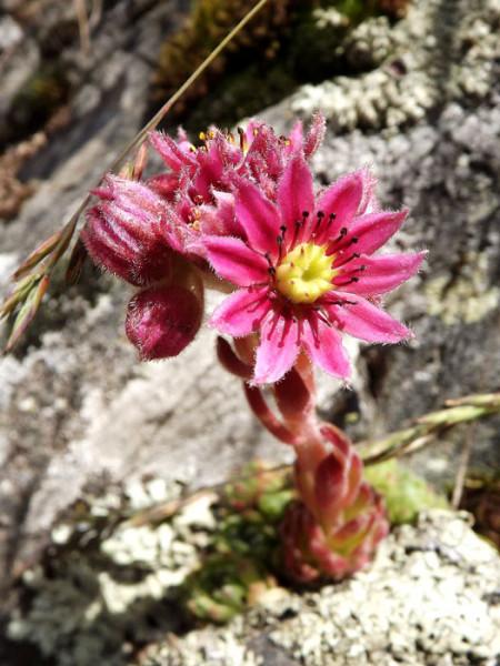 Sempervivum arachnoideum 'Rauhreif', Spinnweb-Hauswurz