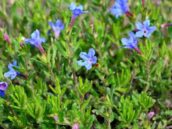 Lithodora diffusa 'Heavenly Blue', Südlicher Steinsame, blauer Steinsame