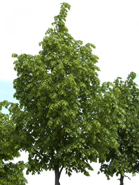 Tilia platyphyllos, Sommerlinde