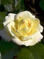 Rose La Perla ® - Kordes
