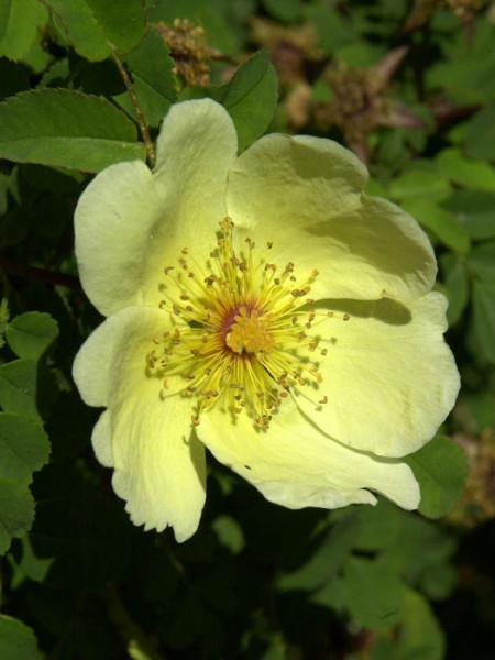 Blüte der Wildrose Hugonis