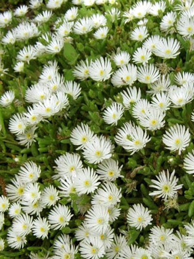 Delosperma congestum 'White Nugget' (M), Mittagsblume
