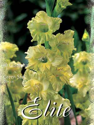 Großblumige Gladiole 'Green Star', Gladiolus (Art.Nr. 521262)