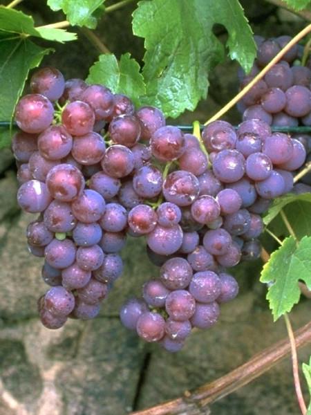 Tafel- und Weintraube Roter Gutedel