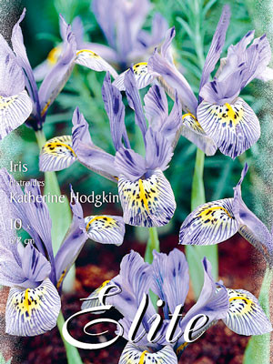 Zwergiris 'Katherine Hodgkin', Iris histrioides (Art.Nr. 596876)