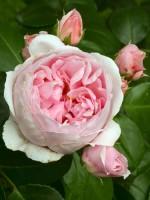 Rose Cinderella ® - Kordes