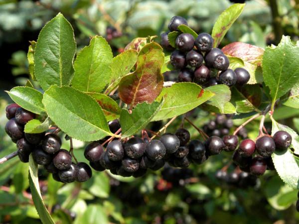 Essbare, schwarze Apfelbeere