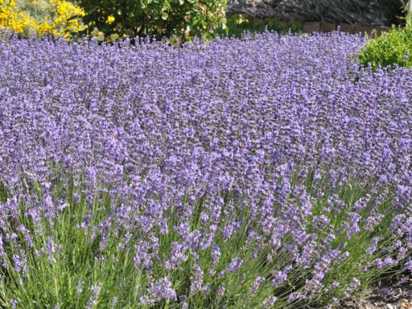 Garten-Lavendel Munstead Bodendecker