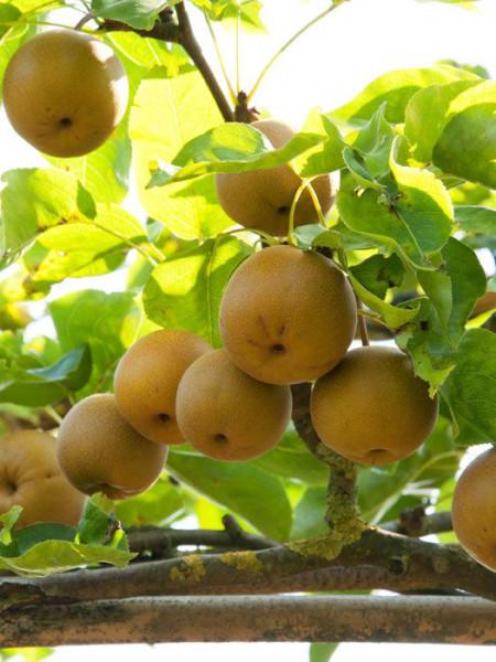 Apfelbirne Nashi 'Kumoi', chinesische Apfelbirne, Asienbirne
