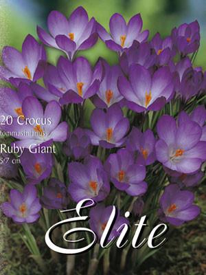 Frühjahrsblühender Krokus 'Ruby Giant' (Art.Nr. 596218)