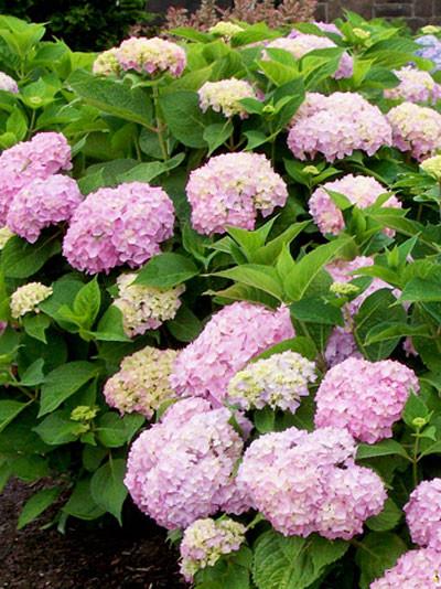 Hortensie Endless Summer Rosa