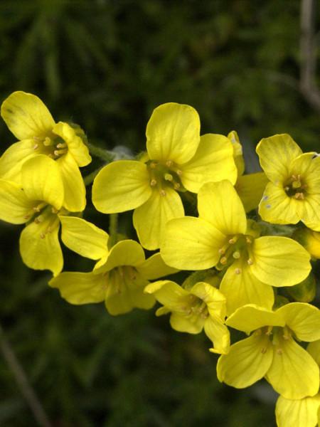 Draba bruniifolia, Felsenblümchen, Hungerblümchen