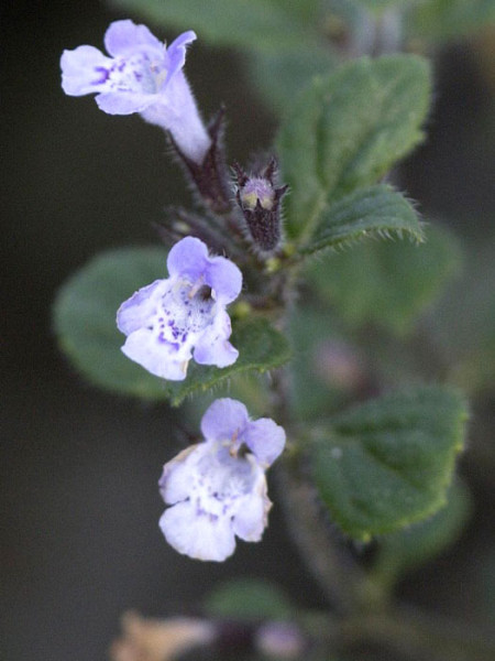 Die Blüte der Bergminze 'Blue Cloud'