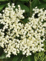 Sambucus nigra, Schwarzer Holunder