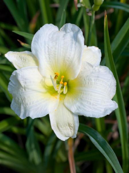 Hemerocallis x cultorum 'Gentle Shepard', Garten-Taglilie