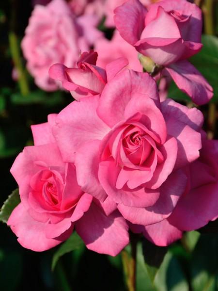 Rose Eliza