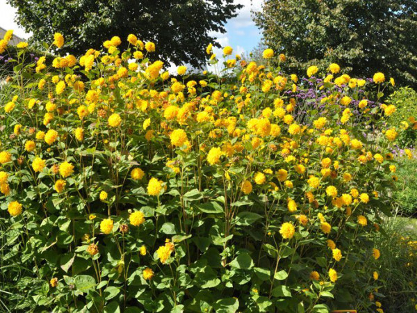 Helianthus decapetalus 'Soleil d'Or', Stauden-Sonnenblume