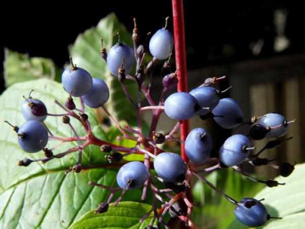 Frucht des Sibirischen Hartriegels