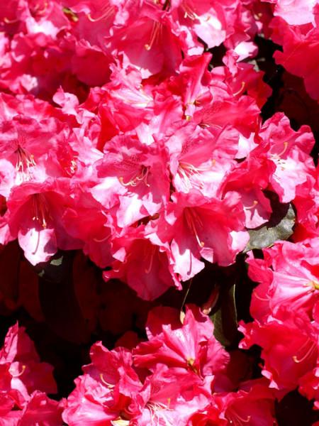 Rhododendron will. 'Gartendirektor Glocker'