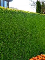 Cupressocyparis leylandii, Leylandzypresse