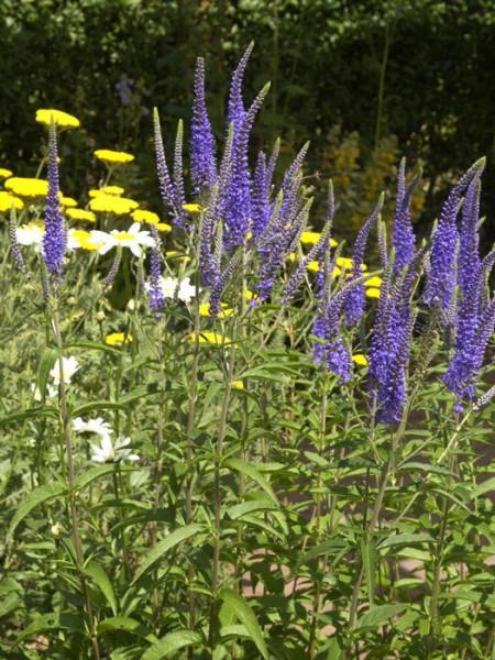 Veronica longifolia 'Blauriesin', Garten-Ehrenpreis, Wiesen-Ehrenpreis