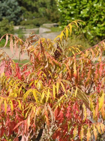 Herbstfärbung Essigbaum