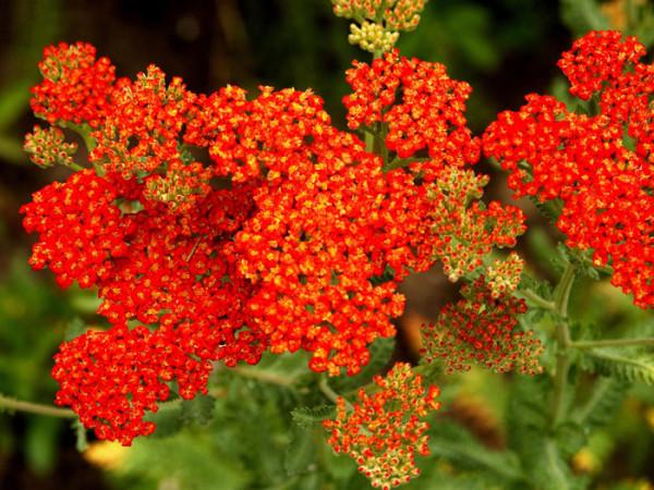 Achillea filipendulina 'Walter Funke' (M), Schafgarbe 'Walter Funke', rote Goldquirl-Garbe