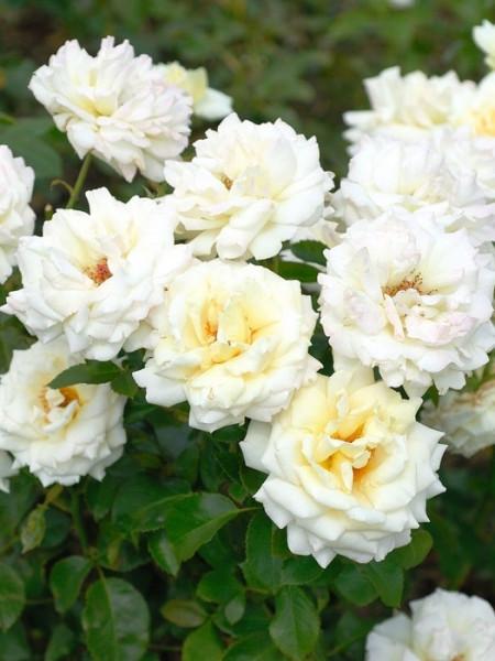 Strauch der Rose Ambiente